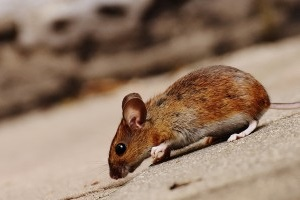 Mice Control, Pest Control in Stockwell, SW9. Call Now 020 8166 9746
