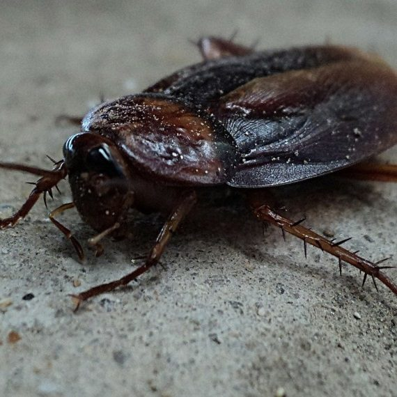 Cockroaches, Pest Control in Stockwell, SW9. Call Now! 020 8166 9746