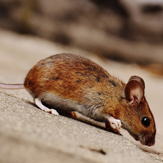 Mice, Pest Control in Stockwell, SW9. Call Now! 020 8166 9746