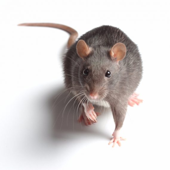 Rats, Pest Control in Stockwell, SW9. Call Now! 020 8166 9746