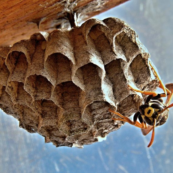 Wasps Nest, Pest Control in Stockwell, SW9. Call Now! 020 8166 9746